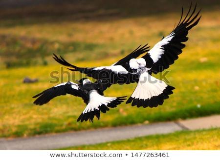 australian magpie cracticus tibicen stock photo © dirkr