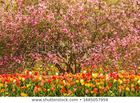 tulipánok · színes · tavasz · kert · piros · ajándék - stock fotó © Zela