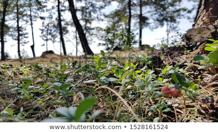 Arbusto branco montanha prado paisagem cedo Foto stock © Kotenko