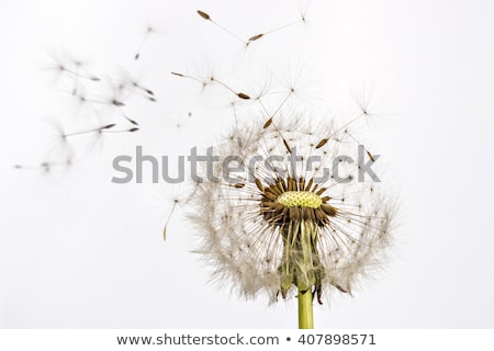 Dandelion group Stock photo © Zela