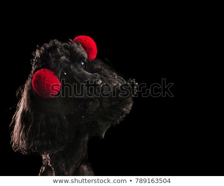 cute black poodle reaching its paw stock photo © feedough