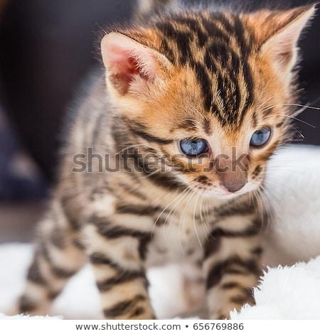 Bengalski kotek studio biały kot młodych Zdjęcia stock © cynoclub