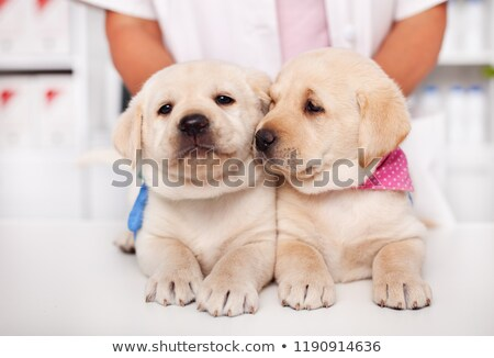 Two adorable labrador puppy dogs lying together on the table at  stock photo © ilona75