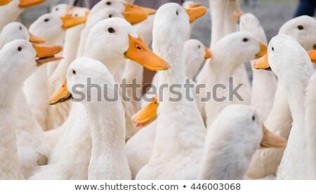 Large group of white ducks, in farme Stock photo © FreeProd