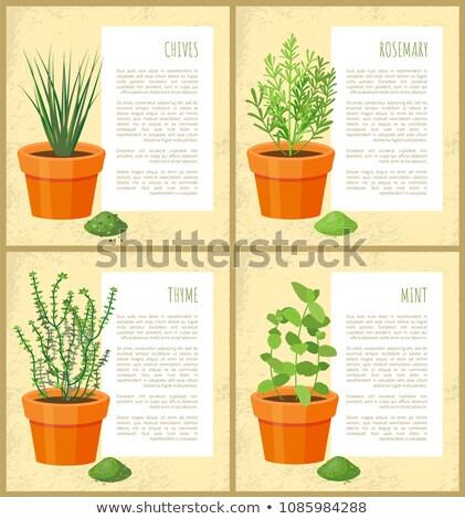 Rozmaring poszter főcím organikus száraz öntet Stock fotó © robuart