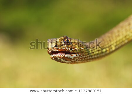 macro portrait of colorful eastern montpellier snake Stock photo © taviphoto