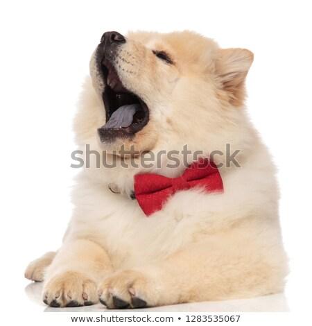 Cute · китайский · собака · белый · красоту · цвета - Сток-фото © feedough