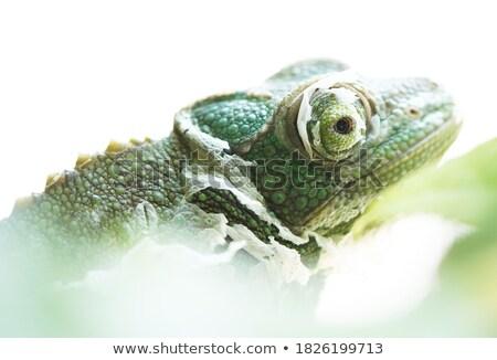 juvenile green lizard over white Stock photo © taviphoto