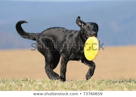 portrait of a black dog outdoors playing with frisbee stock photo © lightpoet