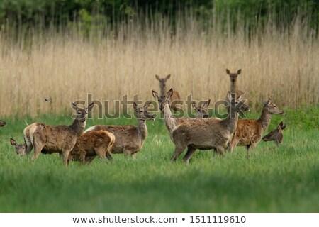 自然 公園 鹿 動物 ベクトル ストックフォト © robuart