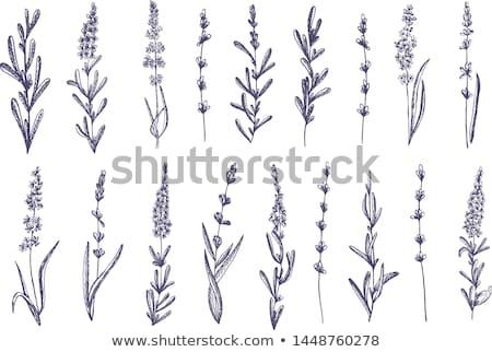 Lavender summer field stock photo © neirfy