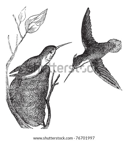 Stock photo: Rufous Hummingbird or Selasphorus rufus vintage engraving