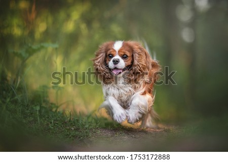 the portrait of cavalier king charles spaniel on a green grass l stock photo © capturelight