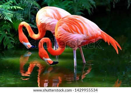 アメリカン フラミンゴ 鳥 ピンク 池 自然 ストックフォト © dmitry_rukhlenko