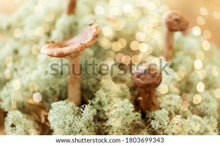 Champignons rendier mos natuur milieu bos Stockfoto © dolgachov