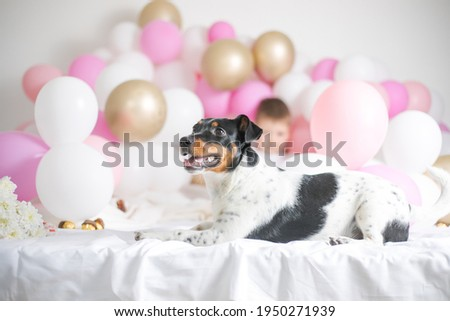 Happy first dog birthday. Beautiful jack russel terrier dog wears party hat, poses near table with p Stock photo © vkstudio