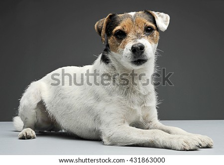 Parson Russell Terrier lying and looks at you in the white photo Stock photo © vauvau