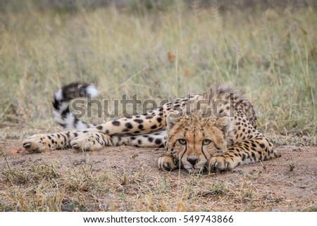 gepárd · park · Dél-Afrika · Afrika · ünnep · gyors - stock fotó © simoneeman