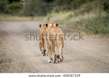 two lions cubs walking away in the kapama game reserve stock photo © simoneeman
