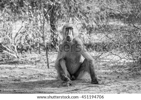 Baboon starring in the Kruger National Park, South Africa. Stock photo © simoneeman