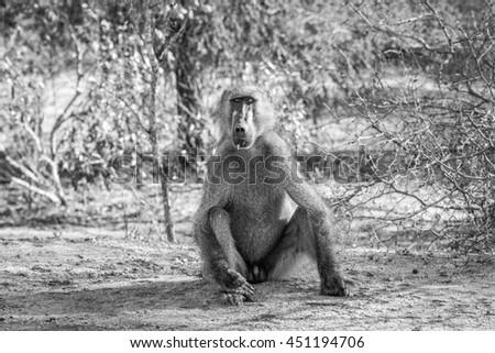 Pavian Park Südafrika Tiere Fotografie Stock foto © simoneeman