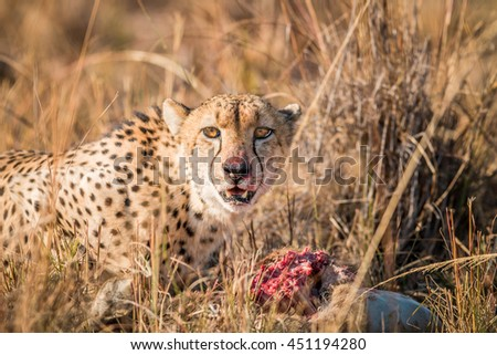Cheetah on a Reedbuck kill in the Sabi Sabi game reserve. Stock photo © simoneeman