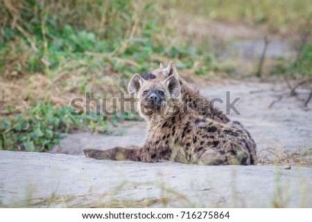 starring young spotted hyena in the kruger national park stock photo © simoneeman