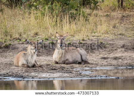 two waterbucks laying next to the water in the kruger stock photo © simoneeman