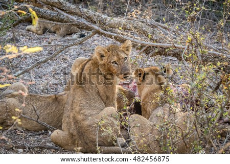 Lion cub looking back at a Buffalo kill. Stock photo © simoneeman