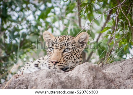 Leopard termites parc Afrique du Sud nature portrait Photo stock © simoneeman