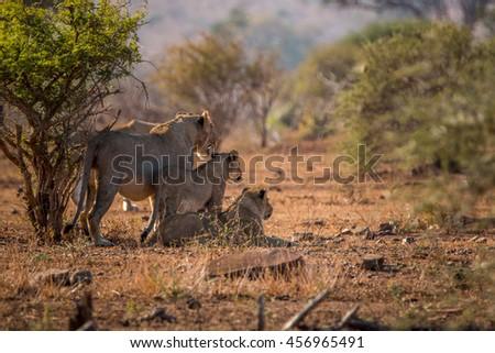três · parque · África · do · Sul · animais · leão · fotografia - foto stock © simoneeman