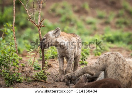 Baby Spotted hyena playing with a branch. stock photo © simoneeman