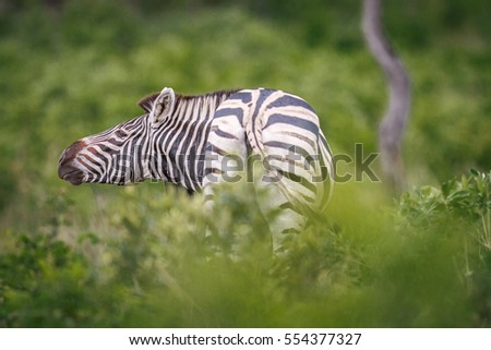Zebra rubbing his neck on a piece of wood. stock photo © simoneeman