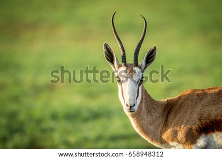 Springbok starring at the camera. Stock photo © simoneeman