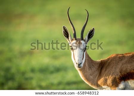 springbok starring at the camera stock photo © simoneeman