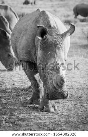 Black rhino starring at the camera. stock photo © simoneeman