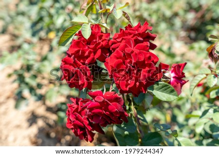 Arbuste bois rose fruits jardin Photo stock © LianeM