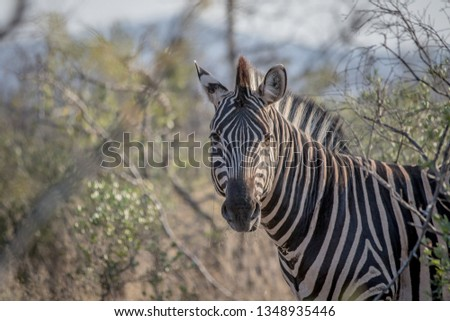 starring zebras in the kruger national park south africa stock photo © simoneeman