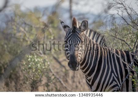 Zèbres parc Afrique du Sud animaux Photo stock © simoneeman
