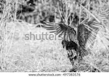 bateleur eagle stretching his wings in the kruger national park stock photo © simoneeman