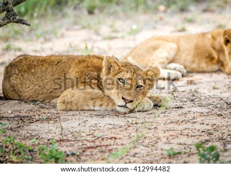 Lion laying in the Kapama Game Reserve. Stock photo © simoneeman