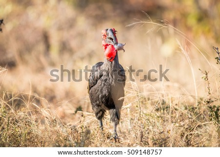 Southern ground hornbill with a Rain frog kill. Stock photo © simoneeman