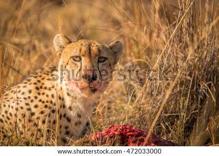 Cheetah on a kill starring in the Kruger. Stock photo © simoneeman