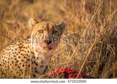 gepárd · park · Dél-Afrika · állatok · fotózás · szafari - stock fotó © simoneeman