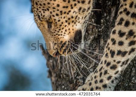 Leopard vers le bas arbre parc Afrique du Sud Photo stock © simoneeman