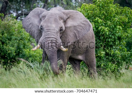 A big Elephant bull starring at the camera. Stock photo © simoneeman
