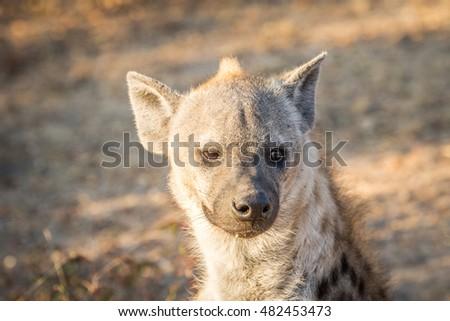 Spotted hyena female starring at the camera. Stock photo © simoneeman