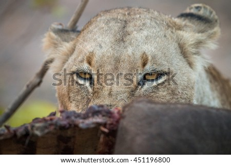Lioness looking over a Buffalo carcass in the Sabi Sabi. Stock photo © simoneeman