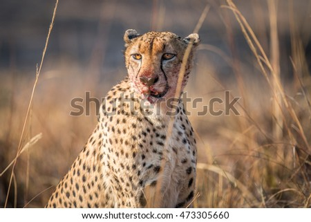 Starring Cheetah with a bloody face in the Kruger. stock photo © simoneeman