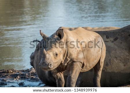 starring baby white rhino in the kruger national park stock photo © simoneeman